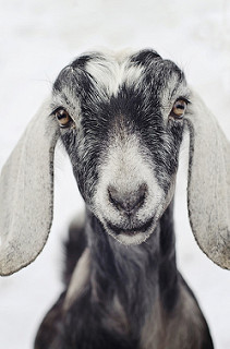 Goats provide nutrition and a source of income.